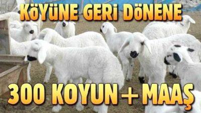 300 Koyun Hibe Şartları 2020 GÜNCEL DESTEK