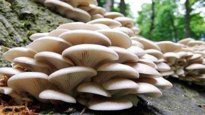 Beyaz Şapkalı Mantar Yetiştiriciliğine 30 Bin Lira Hibe (Uygun Faizler)