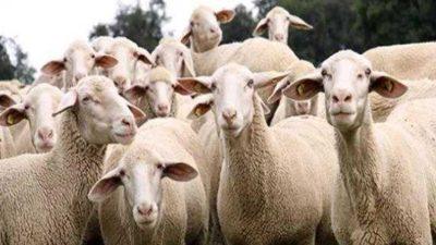 300 Koyun İçin Hibe veya Kredi Desteğini Araştırdık