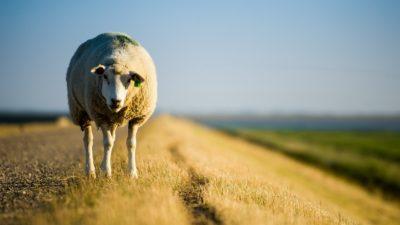 Ziraat Bankası Sıfır Faizli Koyun Kredisi 2020