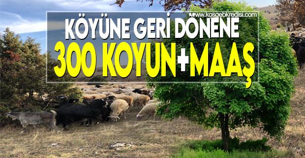 300 Koyun Hibe Şartları Yeni Destek